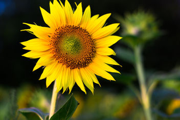 Autumn Sunflower - image gratuit #465061