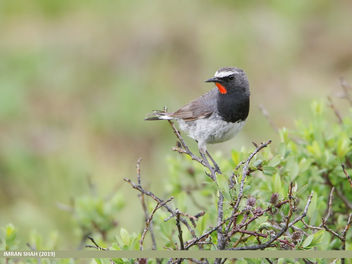 White-tailed Rubythroat (Luscinia pectoralis) - бесплатный image #465151