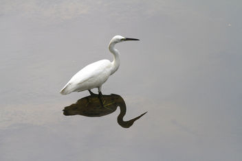 Egret, Plover Cove Reservoir, Tai Po Hong Kong - Kostenloses image #465531