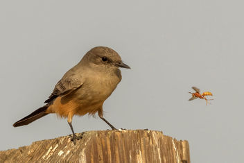 Say's Phoebe ready to grab a snack - Kostenloses image #465871