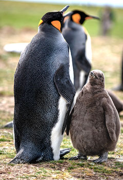 King Penguin and Chick - image #466071 gratis