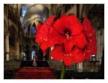 Advent Amaryllis - image #466261 gratis
