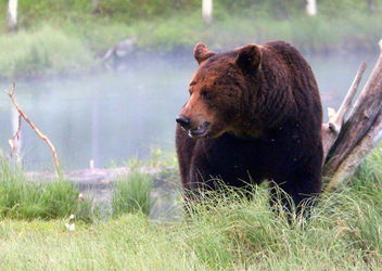The brown-bear in wilderness. - image #466361 gratis