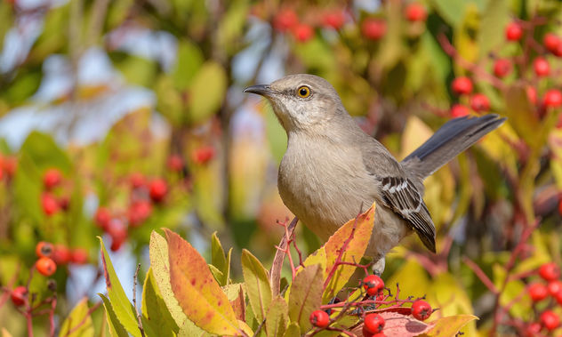 Northern Mockingbird - бесплатный image #466941