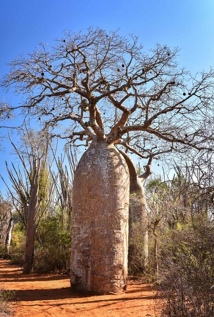 Baobabs, Spiny Forest - бесплатный image #467091