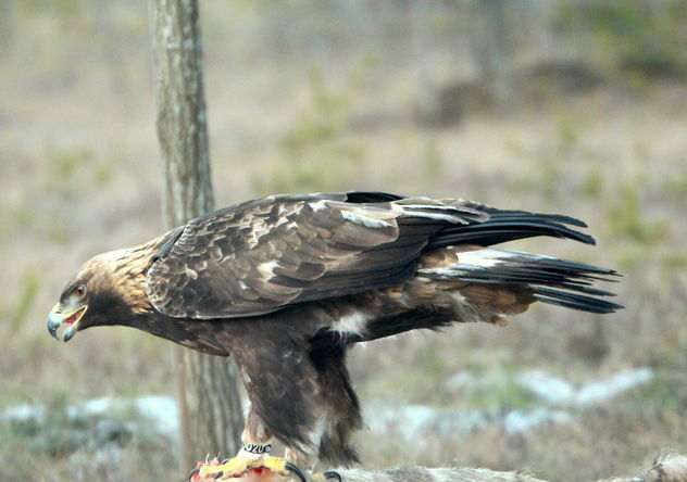 The golden eagle on the dining table - бесплатный image #467241