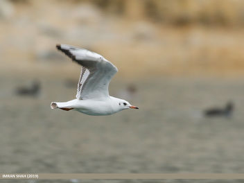 Black-headed Gull (Chroicocephalus ridibundus) - image gratuit #468031