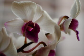white orchid - Free image #468451