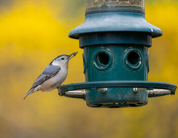 Nuthatch Feeding - Kostenloses image #468601