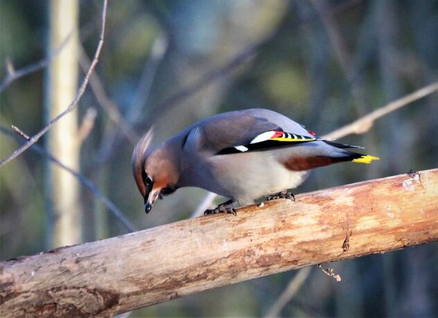Waxwing - Free image #469271