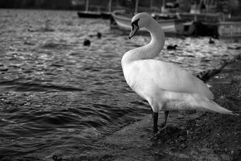 Swan lake. Best viewed large. - image #469321 gratis