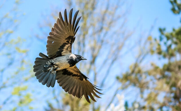 Crow in flight - image #470031 gratis