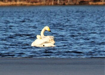 Two swans,, - Free image #470191