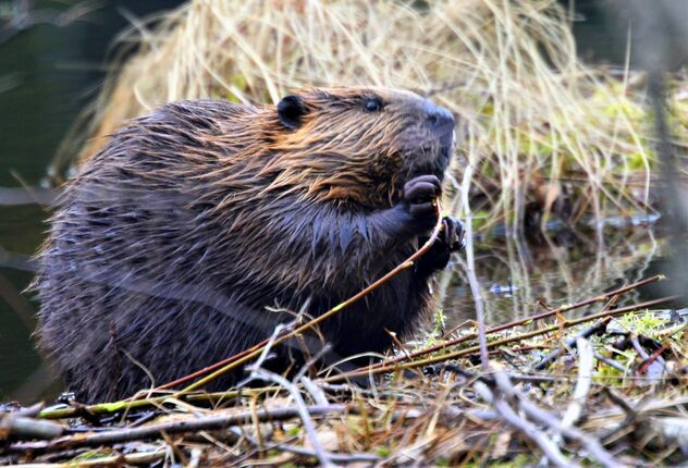 The beaver puppy - Free image #470311
