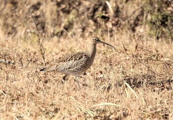 The curlew in the field - Kostenloses image #470351