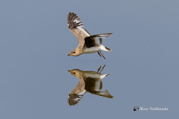 A Small Pratincole in Flight over the water - image #470821 gratis