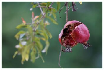 split pomegranate, ready to feed the birds - image #470851 gratis