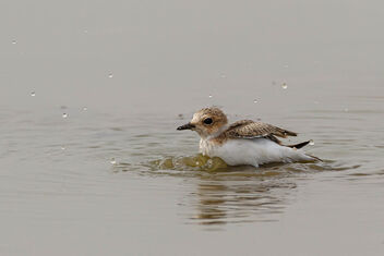 A Kentish Plover in a mud bath! - Kostenloses image #470921