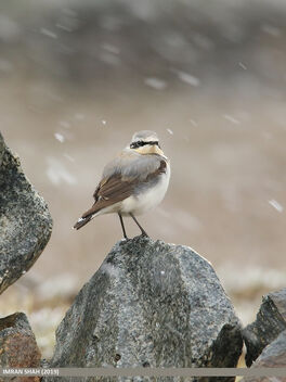 Northern Wheatear (Oenanthe oenanthe) - image gratuit #471191