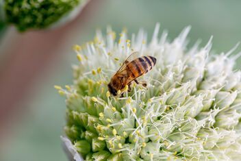 Bee pollinates onion flower, closeup - Kostenloses image #471231