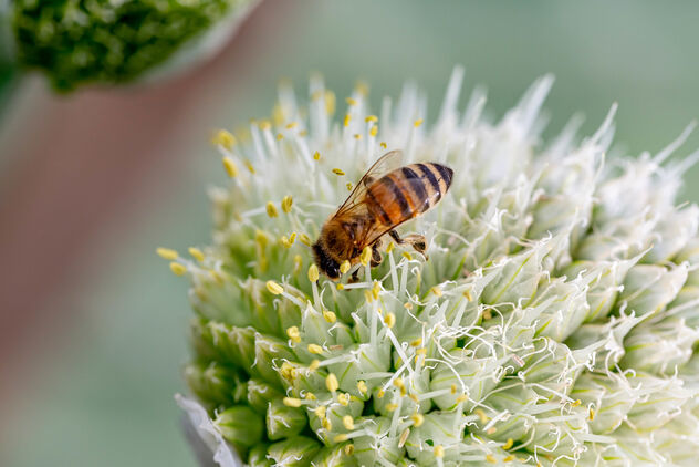 Bee pollinates onion flower, closeup - image #471231 gratis