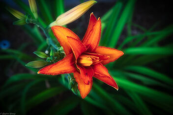Daylily Morning Bloom - image #471291 gratis
