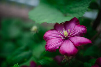 Closeup of beautiful purple spring flower in the garden. - Kostenloses image #471371