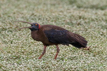 A Red Naped Ibis grabbing an insect for meal - image #471581 gratis