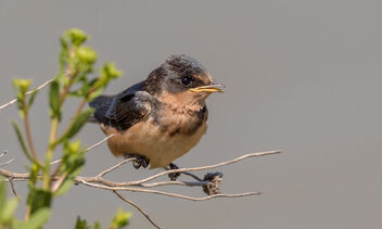 Barn Swallow (juvenile) waiting for parents to feed it - image #471711 gratis