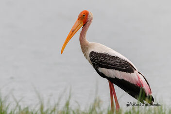 A Painted Stork on the lake banks - Kostenloses image #471911