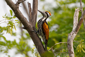 A White Naped Woodpecker pecking on a tree - image #472101 gratis