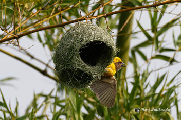 A Baya Weaver showcasing its newly built Nest to a female! - image #472201 gratis