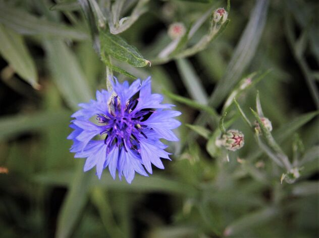 The cornflower - Free image #472301