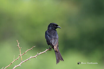 A Black Drongo on a Beautiful Perch - image #472361 gratis