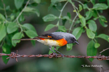 A Small Minivet on a fence looking for food - image #472711 gratis