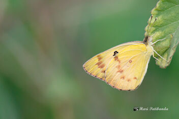 A Common Grass Yellow Settles on a leaf in the wind - image #472751 gratis