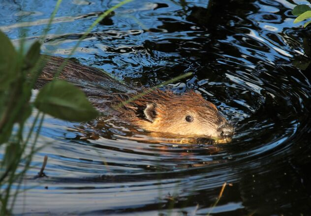 The young beaver in the evening sun - image #472811 gratis