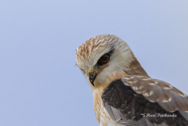 A Black Shouldered Kite Eyeing a Prey - Kostenloses image #473461