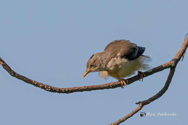A Chestnut Tailed Starling - image #473511 gratis
