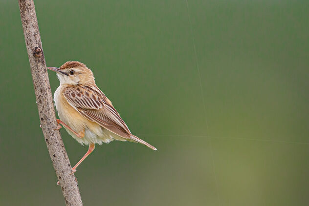 A Playful Zitting Cisticola on a plant stalk - Kostenloses image #473551