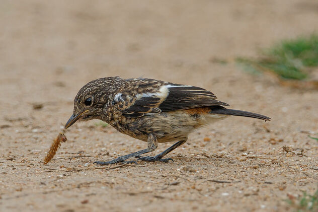 A Juvenile Pied Bushchat enjoying a meal - Kostenloses image #473581