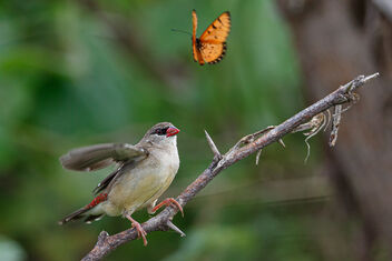 A Strawberry Finch spooked by a Butterfly - image gratuit #473641