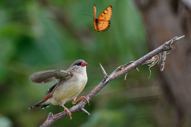 A Strawberry Finch spooked by a Butterfly - Kostenloses image #473641