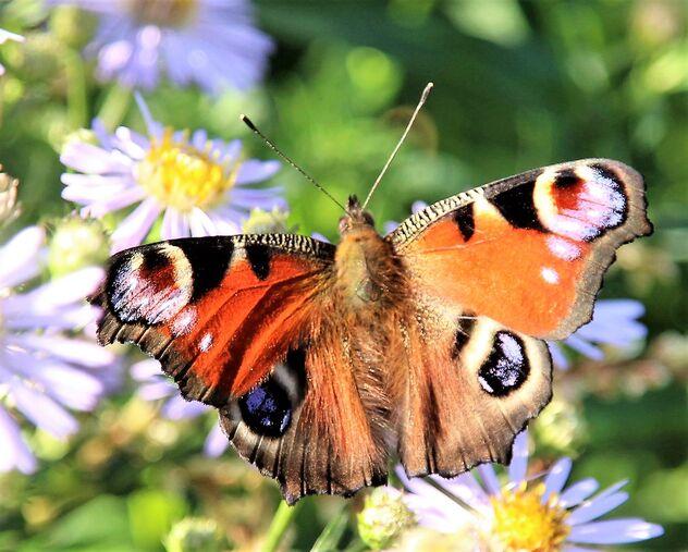 Beautiful peacock butterfly - image gratuit #473831