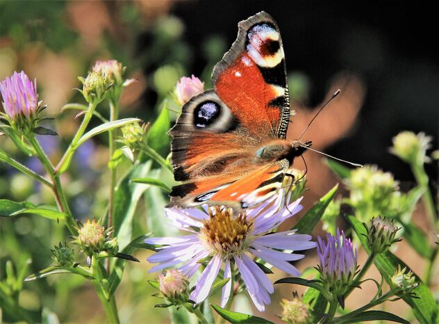Maiden butterfly on the flower - image gratuit #473951