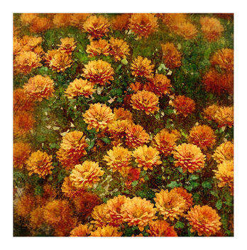 Fall Chrysanthemums - image gratuit #475671