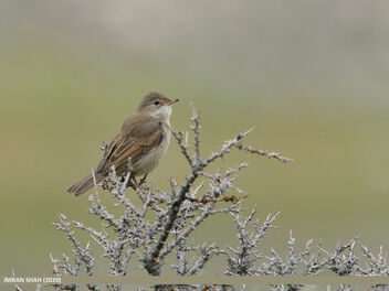 Common Whitethroat (Sylvia communis) - image gratuit #475741