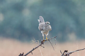 A Palid Harrier subadult female roosting - Free image #475761