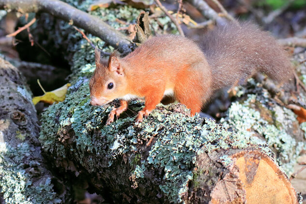 Red Squirrel - image #475771 gratis