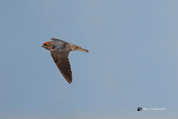 A Streak Throated Swallow - Free image #475881
